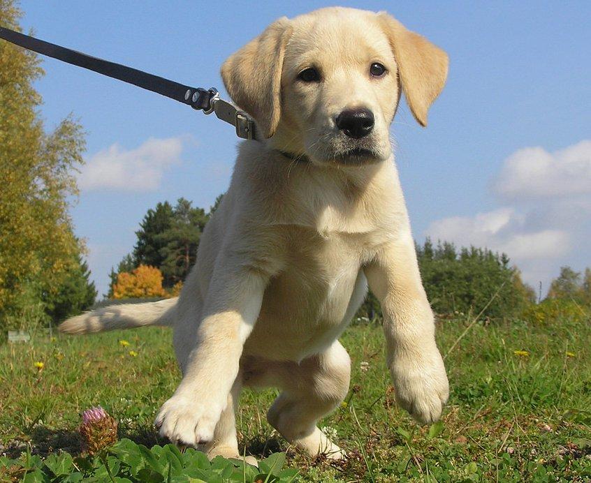 Labrador Puppy hunting in in Issaquah wa Washington.